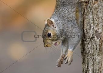 Grey Squirrel (Sciurus carolinensis)