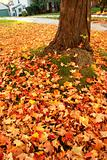 maple leaves around the tree