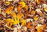 yellow maple leaves pile