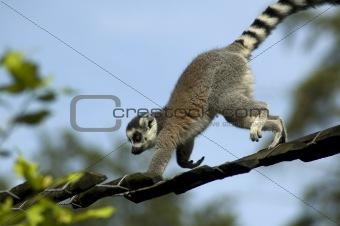 Climbing Lemur Catta