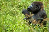 Gorilla Playing With Grass