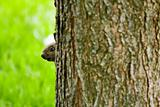 Peeking Squirrel
