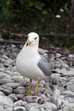 Curious Gull