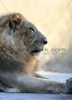 King - lion