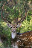deer male