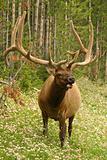 elk male