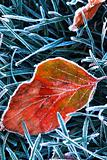 Frosty leaf