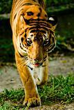 Tiger staring.
