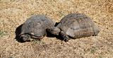 Turtles love