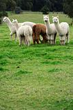 Alpaca farm