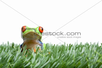 red-eyed tree frog in grass isolated