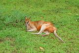 Kangaroo resting on grass