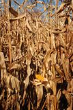 Autumn Corn Field