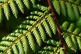 Fresh Forest Ferns