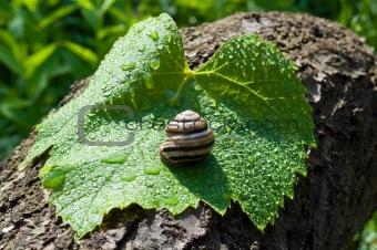 garden snail on a wet leaf vine