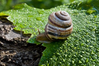garden snail on a wet leaf vine