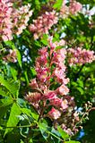 Pink flowers decorative chestnut 