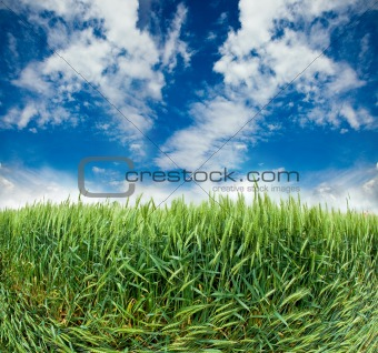 field with ears of wheat