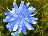 flower of blue chicory