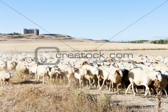sheep herd, Montealegre, Castile and Leon, Spain