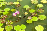 Pink lotus on the lake