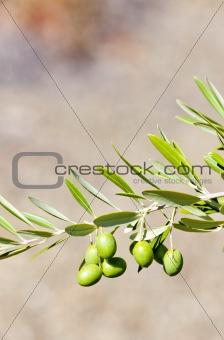 olive tree, Portugal