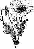 Branch of Papaver rhoeas