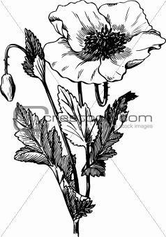 Branch of Papaver rhoeas