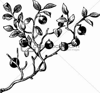 Branch of berries