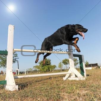 beauceron in agility