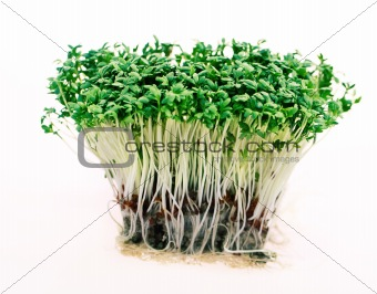 Close up of fresh green cress