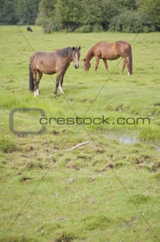 Grazing horses in a meadow