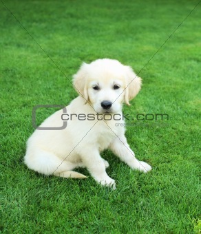 Golden retiever labrador puppy outdoors