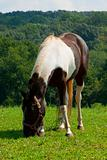 Horse grazing in the meadow.