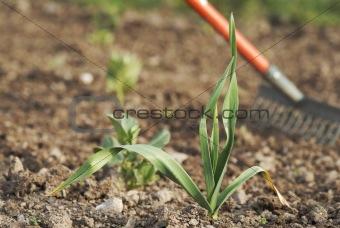 Young healthy garlic (Allium sativum) plant.