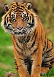 Endangered Sumatran tiger portrait