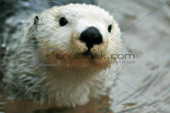 Cute white otter