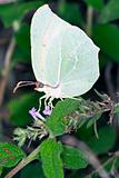 Gonepteryx