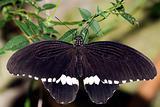 Common Mormon Papilio polytes Linnaeus, 1758