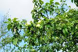 Fructifying apple-tree