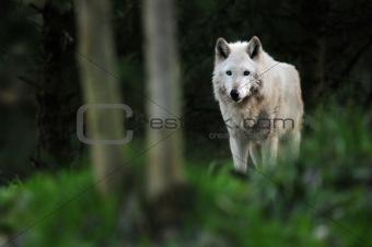 Wolf under moonlight