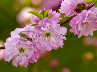 Branch of a blossoming Oriental cherry