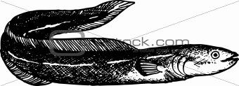 Blackhead fish