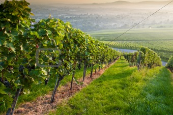 Sun in the morning in a vineyard