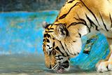 Siberian Tiger drinking