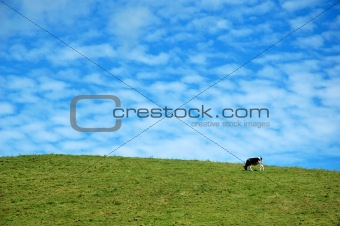 Cow on a blue sky