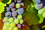 Violet and green wine grapes
