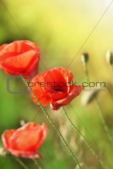 Beautiful red poppies on the field