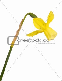 Stem and flower of a yellow daffodil flower