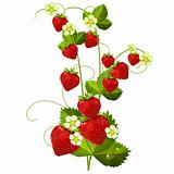 Ripe red strawberry isolated